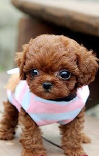Teacup poodle: I WILL have one of these one day. Cutest animals ever.That looks so cute.Please check out my website thanks. www.photopix.co.nz
