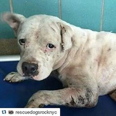 #Repost @rescuedogsrocknyc with @repostapp  Bingo was used as a bait dog. He's filthy dirty & covered in bite wounds and scars. He's got infected wounds lacerations fleas & ticks & will not stand or walk. Despite his horrible condition Bingo passed his temperament test w flying colors & is loved by all who meet him. It is impossible to turn your back on those sad eyes begging for help. Bingo was taken to our TX vet partner last night & we are awaiting an update. We need donations towards…