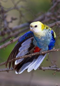 The pale-headed rosella is a type of parrot and it's native to northeastern Australia. Kinds Of Birds, All Birds, Cute Birds, Pretty Birds, Beautiful Birds, Animals Beautiful, Animals Amazing, Exotic Birds, Colorful Birds