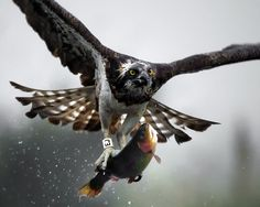 The famous Osprey -