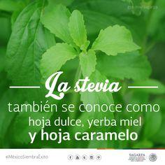 La stevia también se conoce como hoja dulce, yerba miel y hoja caramelo. SAGARPA SAGARPAMX #MéxicoSiembraÉxito