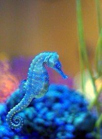 """Seahorse is the title given to 54 species of marine fish in the genus Hippocampus. """"Hippocampus"""" comes from the Ancient Greek hippos meaning """"horse"""" and kampos meaning """"sea monster. Underwater Creatures, Underwater Life, Ocean Creatures, Beautiful Sea Creatures, Animals Beautiful, Cute Animals, Animals Sea, Fauna Marina, Sea Dragon"""
