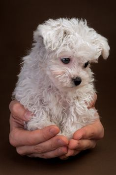 Super Cute Poodle Puppy. Had 'em forever, must have led to my love of Yorkies now. Thank you.