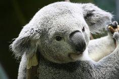 Hello? Let me strike a pose. Koala at the Cleveland Zoo.