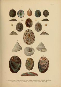 Japanische Meeres-Conchylien. Ein Beitrag zur Kentniss der Mollusken Japan's mit besonderer Rücksicht auf die geographische Verbreitung derselben.  |  Volume 2: 1869