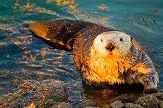 Nutria japonesa de rio, animales extintos :(