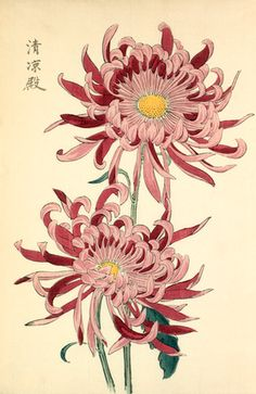 printed illustration of a chrysanthemum variety 'Seirioden' taken from the Japanese publication A Hundred Chrysanthemums by K Hasegawa.   Creator  Hasegawa, Keikwa (Author) Date  1891