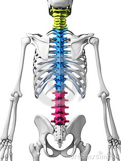 Parts of human spine