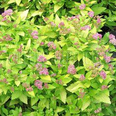 image de Spiraea japonica Double Play® Gold Double Play, Photos, Gold, Image, Gardens, Plant, Flowers, Pictures, Photographs