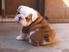 If you've been looking for an English Bulldog to brag about you've found us.English Bulldog puppies from a breeder with an excellent reputation. Not your average Bulldog puppies. Baby Bulldogs, Cute Bulldogs, Cute Baby Animals, Animals And Pets, Funny Animals, Cute Dogs And Puppies, I Love Dogs, Doggies, Chubby Puppies