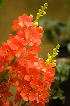 Orange Red Ascocentrum Miniatum Orchid