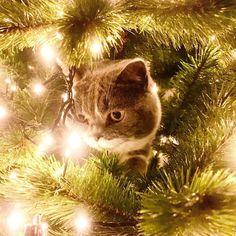 lively decoration #christmas #cat #catsofinstagram #fietje