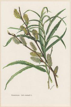 1960 Vintage Botanical Print Salix viminalis Basket by Craftissimo
