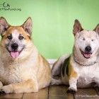 Jack and Chico are more than just best friends. The two middle-aged cattle dogs have a special bond. Chico has no eyes, so Jack acts as his seeing-eye dog. Recently the two ended up at a Denver animal shelter when their owner passed away. Now the two are in need of a loving home that can take both of them.