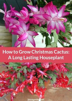 This is holiday flower power! Christmas Cactus (aka Holiday & Thanksgiving Cactus) is a very popular blooming plant for the holidays. It's a long lasting, easy care houseplant you can have for years. Here's how to grow Christmas Cactus during it's blooming period & after. Plus, find out how to get it to flower again. There's a video to guide you.