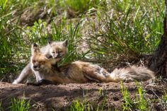 Mother Fox and Kit - Photo Contest - National Wildlife Federation