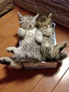 ティッシュの箱好きすぎる子猫たち