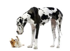Great Dane and chihuahua, from Shutterstock