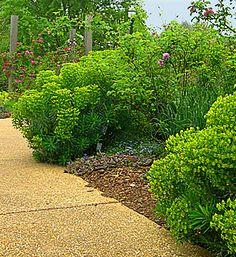 (Euphorbia characias).