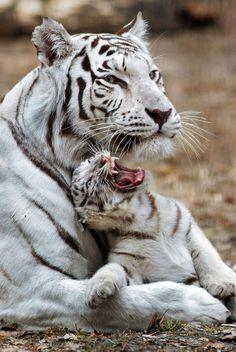 Tiger Cubs Annoys Mum