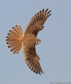 Nature Photo walks - Bird Photography by David G Hemmings American Kestrel, Peregrine Falcon, Bird Wings, Majestic Animals, Birds Of Prey, Raptors, Beautiful Birds, Eagles, Falcon Tattoo