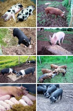 pigs look at all the kinds on the right three down is a kune kune pigs Animal Farm Orwell, Micro Mini Pig, Kune Kune Pigs, Farm Animals, Cute Animals, Teacup Pigs, The Barnyard, Future Farms, Mini Pigs