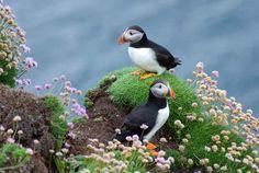 Puffins on Handa Island, Scourie, Sutherland, Scotland
