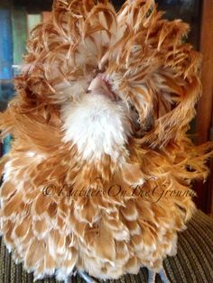 "Bantam Buff Laced Frizzle Polish rooster ""My next chickens raised will be the booted bantams.  So much fun and cute to boot.  I let loose in the gardens and they make good mothers- compostpyle"""