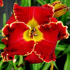Daylily 'Shakespeare's Red'