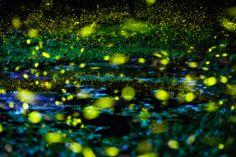 Vaga-lumes no Parque Nacional de Great Smoky Mountains - Foto:  Emily Arnwine http://mochilabrasil.uol.com.br/blog/os-destinos-bioluminescentes-do-mundo