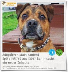 Senior Staffi aus dem TSV Berlin sucht Zuhause, das ihn so aufnimmt, wie er ist.  http://www.tierheimhelden.de/hund/tierheim-berlin/rasse/spike_151750/9375-0/  Spike ist ein Hund, der sich auf seine Bezugsperson sehr stark einlässt. Fast genauso lieb ist ihm allerdings auch sein Zuhause, welches er stark bewacht. Da er mir bereits Leute gebissen h