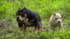 Tricolored American Bully Pax Criação Sustentável Correta Ecologicamente...