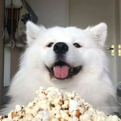 Eating homemade popcorn - Info: made in little salmon oil no salt/ sugar Homemade Popcorn, Dog Eating, Samoyed, Beautiful Dogs, Dog Food Recipes, Cute Dogs, Cute Animals, Baby Animals, Puppies