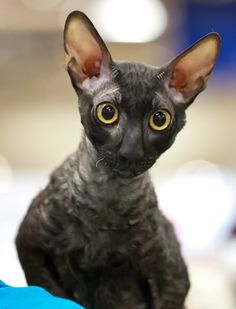 Cornish Rex cat. I used to have one that looked a lot like the one in this picture. She was the craziest girl and I miss her lots. <3