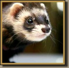 How To Care for Ferrets These Fun Loving Critters Need Special Care.