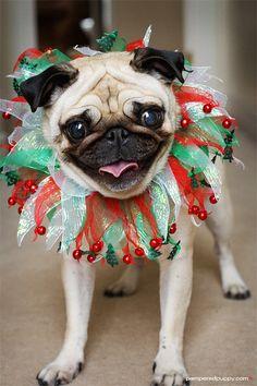 -cute christmas pug –