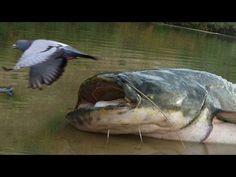 pesci-gatto giganti mangiano piccioni a riva