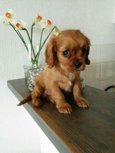 Ruby - Cavalier King Charles spaniel puppy It's scary, up here!