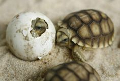 Baby sea turtles hatching I love that one in the egg. Sea Turtles Hatching, Baby Sea Turtles, All Gods Creatures, Sea Creatures, Beautiful Creatures, Animals Beautiful, Baby Animals, Cute Animals, Fluffy Animals