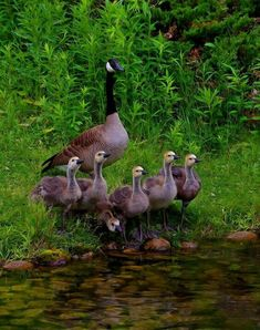 Canadian goose with Gosling's