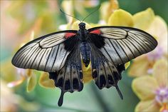 Great Mormon (Papilio memnon) by Foto Martien Butterfly Project, Butterfly Crafts, Gossamer Wings, Cool Bugs, World Images, A Level Art, Save The Bees, Animals Of The World, Beautiful Butterflies