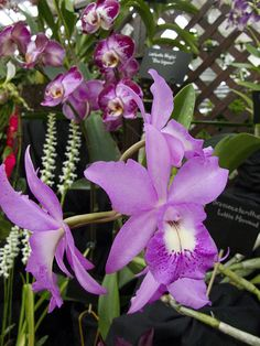 National Capital Orchid Society 66th annual show & sale at Behnke Nurseries Brassocatanthe Little Mermaid | Flickr - Photo Sharing!