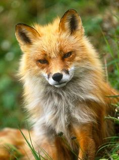 Fluffy serious looking fox, he looks like me in the morning.