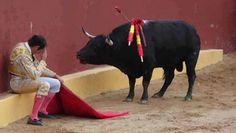 Cette photo incroyable marque la fin de la carrière du Matador Torero Alvaro Munera. Il s'est effondré dans les remords à la mi-combat, quand il s'est rendu compte qu'il était en train d'abattre cette bête douce. (Le regard sur le visage de ce taureau en dit long. Même grièvement blessé par les picadors, il n'a pas attaqué cet homme.)