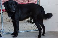 ** Available Nov 8th ** Hello! My name is Fresco. I'm a 2 year old Lab mix. Everyone keeps telling me I'm a big teddy bear because I'm so lovable. I have great manners too. I know how to walk on a leash, how to sit, and how to shake! Won't you come and see all my tricks soon?    Animal #: 382017  Name: Fresco  Sex: Male  Age: Approx 2 years  Breed: Labrador Retriever Mix   Neutered: Unknown     Found at CR 562