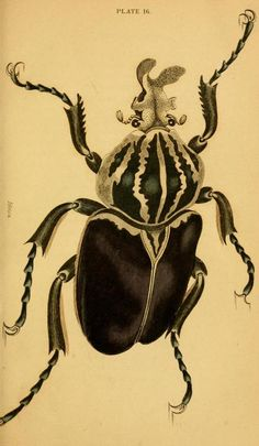 Plate from The Natural History of Beetles, (1852)