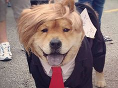 Pin for Later: 15 of the Best DIY Halloween Dog Costumes Out There Dogald Trump (Diy Dog Halloween) Funny Dogs, Cute Dogs, Funny Animals, Cute Animals, Funny Memes, Baby Animals, Hilarious, Pet Halloween Costumes, Pet Costumes