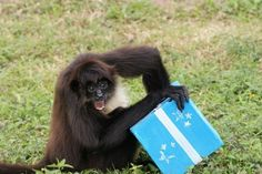A monkey who is having a very happy birthday.