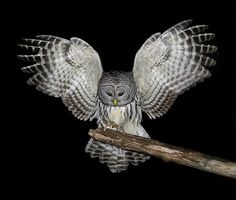 Google Image Result for http://blogs.crikey.com.au/northern/files/2010/12/BarredOwl-mouse.jpg