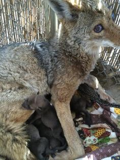 Rescuers Save A Blind Coyote And Are Shocked Weeks Later When They Open The Door To Her Pen
